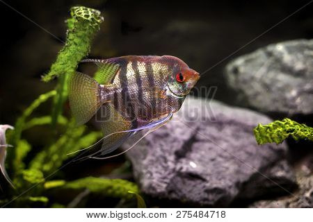 Pterophyllum Scalare Is A Freshwater Fish From The Family Cichlidae Known To Most Aquarists As Angel