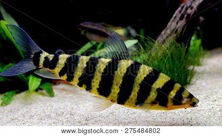 Opslaan Voorbeeld Downloaden A Banded Leporinus Against A Background Of Bogwood And Plants In Aquari