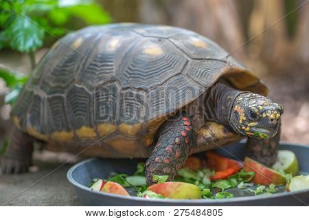 Red-foot Tortoise Chelonoidis Carbonaria Forages Along The Ground For Food