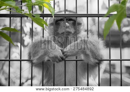 Monkey Sitting Sat At The Zoo, With Green And Grey