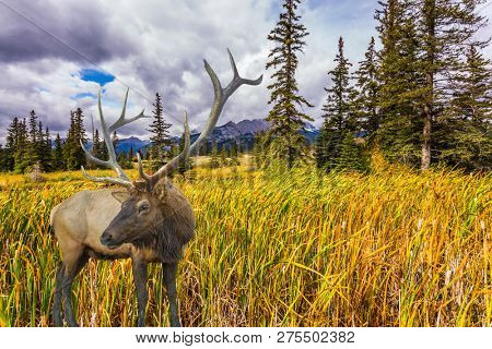 Rocky Mountains of Canada. Rain clouds hover over the valley along the Pocahontas road. Red deer with branched horns grazing in the grass. Concept of ecological, active and photo-tourism