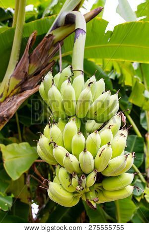 Branches Of Cultivated Banana Tree Close Up.