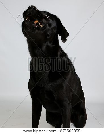 Funny Black Labrador Is Sitting In The White Studio And Cathing Flying Food With The Mouth