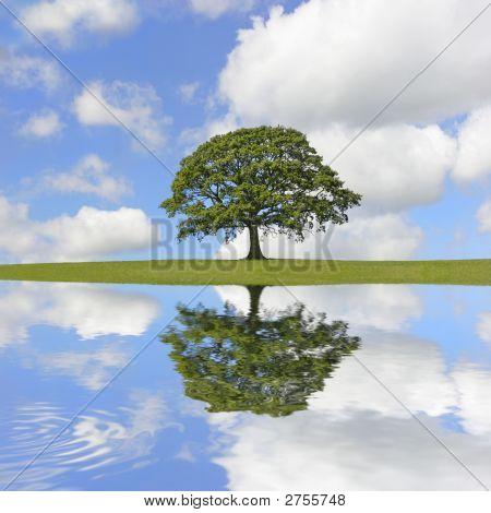 Oak Tree Beauty