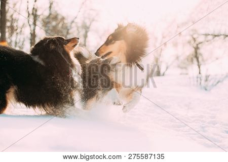 Two Funny Tricolor Rough Collie, Scottish Collie, English Collie, Lassie Dogs Running Together Outdo
