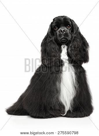 Charming American Cocker Spaniel Sitting In Front Of White Background