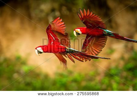 Two Red Parrots In Flight. Macaw Flying, Green Vegetation In Background. Red And Green Macaw In Trop