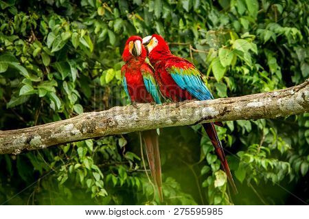 Red Parrots Grooming Each Other On Branch, Green Vegetation In Background. Red And Green Macaw In Tr