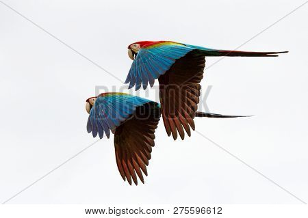 Wo Red Parrots In Flight. Macaw Flying, White Background, Isolated Birds,red And Green Macaw In Trop