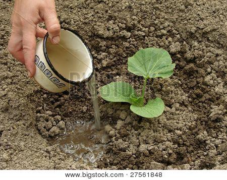 hand watering young pumpkin seedling