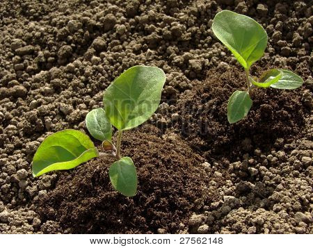 young eggplant seedlings on the vegetable bed