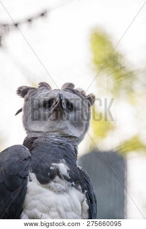 Harpy eagle Harpia harpyja raptor perched on a branch. This large bird of prey is on the threatened species list. poster