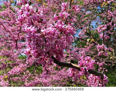 Beautiful Pink Sakura, Fresh Spring Blooming Background