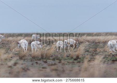 Saiga Herd During The Rut. Saiga Tatarica Is Listed In The Red Book, Chyornye Zemli (black Lands) Na