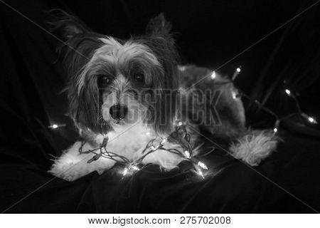 Christmas Dog. Christmas Dog. Chinese Crested dog. Chinese Crested Dog with Christmas lights. Isolated on black velvet. room for text overlay. Black and White.