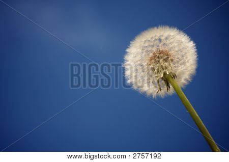 Dandelion Against Deep Blue Sky Background. Plenty of room for your own text. poster