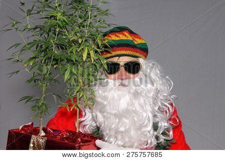 Rastafarian Santa Claus. Rasta Claus holds Marijuana Plants. Marijuana Plants as Christmas Gifts. Cannabis plant gift. Recreational or Medical Marijuana Plants as Xmas Presents with Santa Claus.