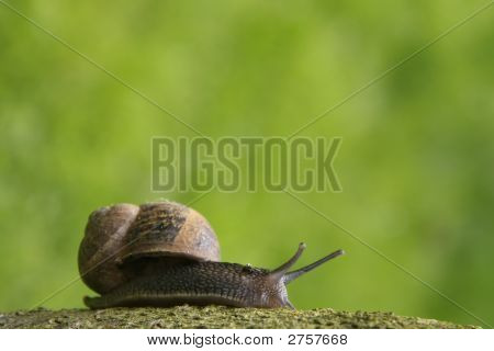 Garden Snail On A Branch