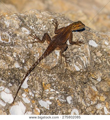 Close Up Of A Juvenile An African Red Head Agama Lizard On A Rock In Stuart, Florida
