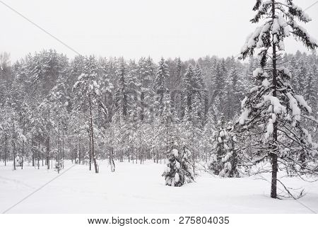 Pine Forest At Winter In Karelian Isthmus, Russia.