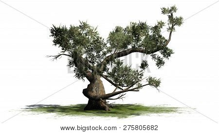 Jeffrey Pine Tree On A Green Area - Isolated On White Background - 3d Illustration