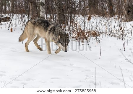 Grey Wolf (canis Lupus) Walks Right Head Down Winter - Captive Animal