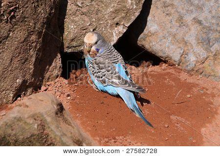 Blue Budgerigar Builds A Nesting Hole