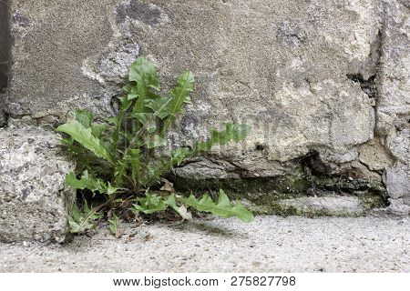 Weed Growing From The Base Of An Old Stone Wall