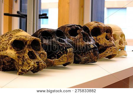 Five Skulls Of Human Ancestors. From Left To Right: A. Africanus, A. Afarensis, H. Erectus, H. Neand