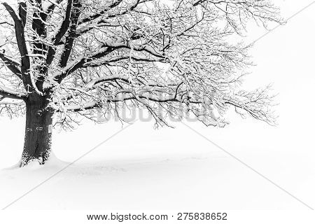 Winter Tree. Big Decidious Tree In Clear White Snowy Landscape. Misty And Freezy Day