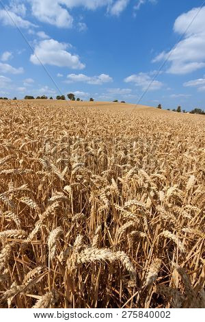 Field Of Golden Wheat Against A Blue Sky With White Clouds