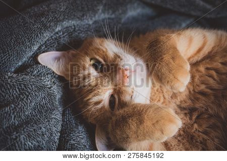 Orange Cat With Charming Eyes, Just Woke Up From Her Afternoon Nap In Soft Grey Blanket.