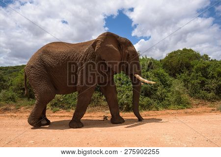 Large Elephants Passing By At Close Range In Addo Elephant Park, South Africa