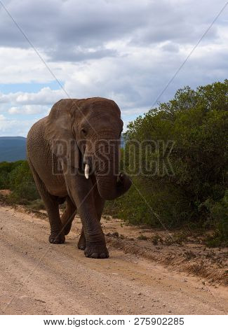 Large Elephants Passing By At Close Range In Addo Elephant Park, South Africa.