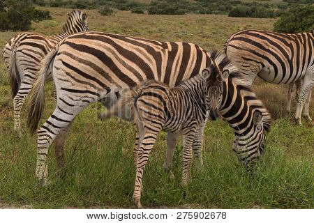 Baby Zebra Staying Close To Its Mother On The Savannah Of Addo Elephant Park, South Africa