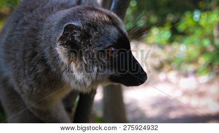 Portrait Of Black Lemur Aka Eulemur Macaco Male At The Tree In Atsinanana Region, Madagascar