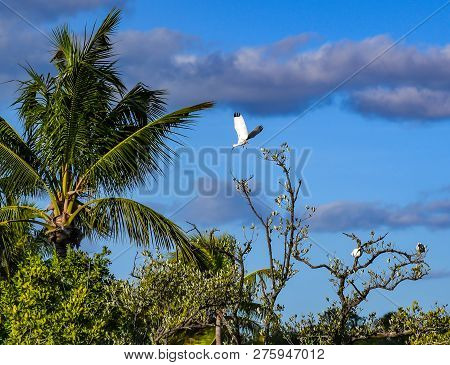Background of an ibis in flight from a tree top in a Florida wetland as other ibises rest on branches.
