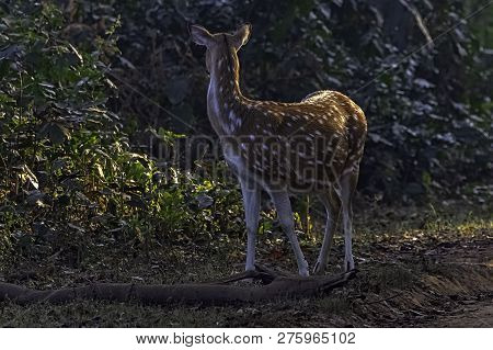 Chital Or Cheetal (axis Axis), Also Known As Spotted Deer Or Axis Deer Female In Jim Corbett Nationa