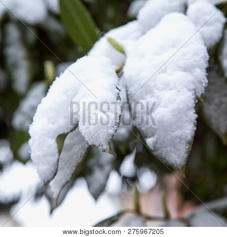 Leaves Covered With Snow, Close Up, Square Image