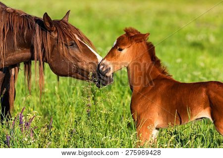 Portrait Of A Beautiful Horse Foal With Mother