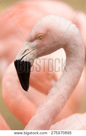 Head And Neck Of Chilean Flamingo (phoenicopterus Chilensis). The Chilean Flamingo (phoenicopterus C