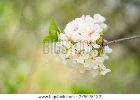 Spring Background With Blossom. Abstract Floral Spring Background. Blossoms Over Blurred Nature Back