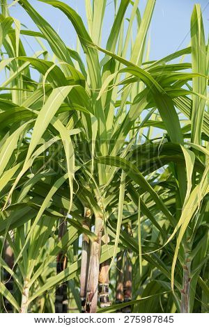 Green Sugarcane Plants Are Growing In Field