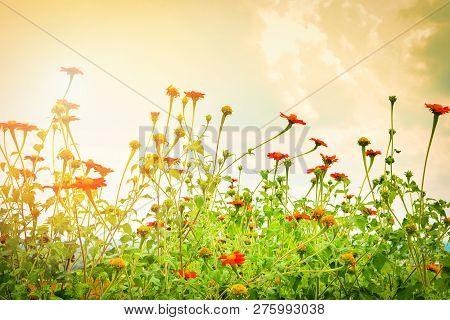 Zinnia Violacea Cav Colorful Flower In The Zinnia Violacea Field In Summer Time
