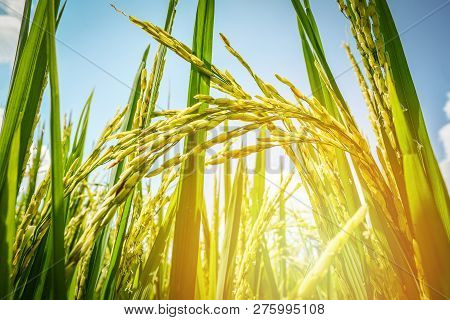 Close Up Of Paddy Rice In Rice Field With Sunlight In Agricultural Fields