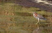 An American Bittern walks in the shallow water and weeds of the salt marsh. poster