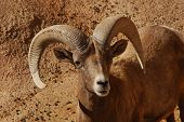 The desert big horn sheep is slightly smaller then its rocky mountain cousins and a little redder in coloring. poster
