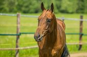 Portrait of young stallion, an aristocratic reddish Akhal-Teke horse breed from Turkmenistan with shining hair standing on a sunny summer day in paddock, blurry green background, wooden poles, farming poster