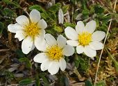 Mountain Avens - Dryas octopetala growing on The Burren poster