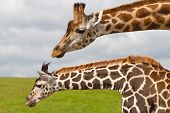 Giraffes in wildlife park poster